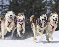 Собаки бегут в упряжке
