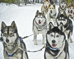 Собаки в упряжке на отдыхе